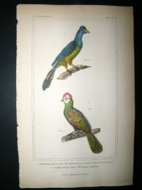 Cuvier C1835 Antique Hand Col Bird Print. Violet-Coloured Plantain Eater,  The Touraco Of Pauline,